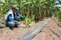 Testemunho de Armando Ruiz Neyra que economiza tempo e água usando novo sistema de irrigação no cultivo de banana orgânica no Peru